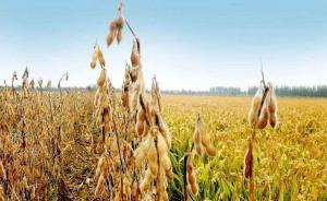 今年春耕大豆种植面积扩大,国产大豆能否解决自给难题